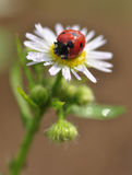 Seven-spot ladybird Stock Image