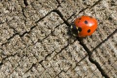 Seven Spot Ladybird Stock Image