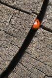 Seven spot ladybird Royalty Free Stock Photography