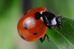 Seven-spot ladybird Royalty Free Stock Image