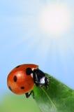 Seven-spot ladybird Stock Images