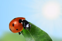 Seven-spot ladybird Stock Photo