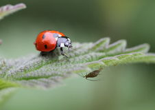 A seven spot ladybird and aphid Royalty Free Stock Photography