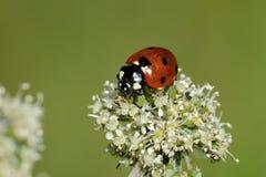 Seven-spot ladybird, coccinella septempunctata. Portrait Royalty Free Stock Photography
