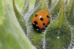 Seven-spot ladybird, coccinella septempunctata. Portrait Royalty Free Stock Photo
