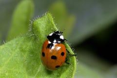 Seven-spot ladybird, coccinella septempunctata. Portrait Stock Photography