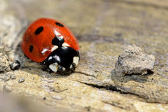 Seven-spot ladybird (Coccinella septempunctata). A common ladybird seen from front and above on wood, with striking orange, black and white colours.  Veins in Royalty Free Stock Photography