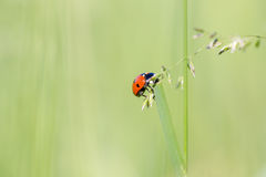 Seven-spot ladybird Coccinella septempunctata extreme macro. Seven-spot ladybird Coccinella septempunctata on grass leaf extreme macro. Horizontal low angle Royalty Free Stock Images