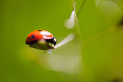 Seven-spot ladybird Coccinella septempunctata extreme macro. Seven-spot ladybird Coccinella septempunctata on grass leaf extreme macro. Horizontal low angle Royalty Free Stock Photography