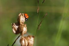Seven-spot ladybird ,Coccinella septempunctata. Seven-spot ladybird on plant ,Coccinella septempunctata Stock Images