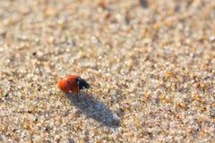 Seven-spot ladybird (Coccinella septempunctata) Royalty Free Stock Photography