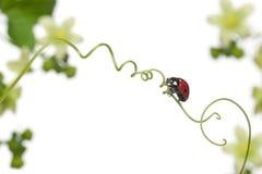 Seven-spot ladybird or seven-spot ladybug Stock Image