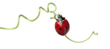 Seven-spot ladybird or seven-spot ladybug Royalty Free Stock Images
