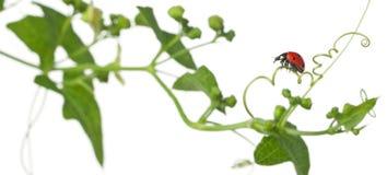 Seven-spot ladybird or seven-spot ladybug Royalty Free Stock Photography