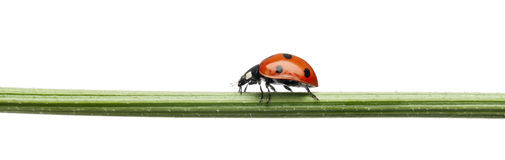 Seven-spot ladybird or seven-spot ladybug Royalty Free Stock Photo