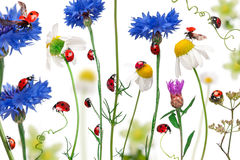 Seven-spot ladybird or seven-spot ladybugs. On daisies, cornflowers and plants, Coccinella septempunctata, in front of white background Stock Image