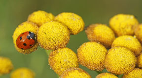 Seven-spot ladybird and tansy Royalty Free Stock Photo