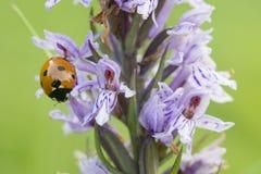 Seven-spot ladybird on wild purple common European orchid Royalty Free Stock Photos