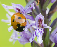 Seven-spot ladybird on wild purple common European orchid Royalty Free Stock Image