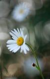 Seven spot ladybug, Coccinella septempunctata resting on oxeeye daisy Royalty Free Stock Photos