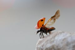 Seven-spot Ladybug taking flight Stock Image