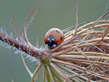 Seven-spoted Ladybird Stock Image