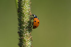 Seven-spotted Lady Beetle Stock Image
