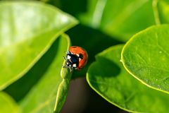 Seven spotted ladybird Coccinella septempunctata on a green leaf stock photography