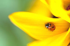 Seven-spotted Ladybird Coccinella septempunctata. On a sunflower Helianthus Royalty Free Stock Photography