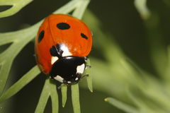 Seven-spotted ladybug. Climbing on the green plant Stock Images