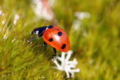 Seven Spotted Ladybug (Coccinella septempunctata). On green moss. Shallow depth of field Stock Photos