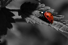 Seven-spotted Ladybug, Coccinella septempunctata Royalty Free Stock Images