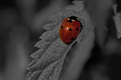 Seven-spotted Ladybug, Coccinella septempunctata royalty free stock image