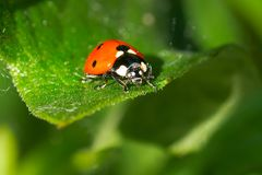 Seven-spotted Ladybug - Coccinella septempunctata. Seven-spotted Ladybug resting on a leaf. Also known as the Seven Spot Ladybird Beetle. Ashbridges Bay Park Royalty Free Stock Images