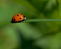 Seven-spotted Ladybug, Coccinella septempunctata. Sitting on straw Stock Photos