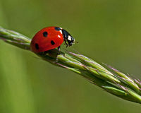 Seven-spotted Ladybug, Coccinella septempunctata. Sitting on straw ax Royalty Free Stock Photography