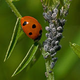 Seven-spotted Ladybug, Coccinella septempunctata Stock Image