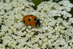 Seven-spotted Ladybug - Coccinella septempunctata. Seven-spotted Ladybug collecting nectar from a white Wild Carrot flower. Also known as a Seven-spot Ladybird royalty free stock photography