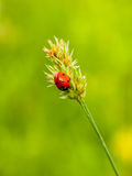 Seven-spotted ladybug on a culm on a soft green background Stock Image