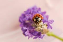 Seven-spotted ladybug on lavender flower. A Seven-spotted ladybug on lavender flower Stock Images