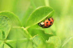 Seven-spotted ladybug Royalty Free Stock Photography