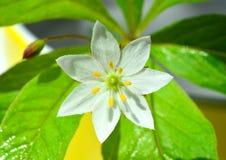 Seven star blossom Stock Images