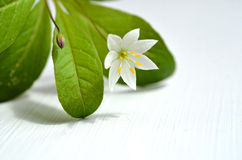 Seven star blossom Stock Photography
