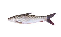 Seven-striped barb or Julian's golden carp is in the freshwater Stock Image