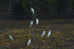 Seven Sulphur-crested cockatoos sitting on a tree branch. Seven Sulphur-crested cockatoo sitting on a tree in Canberra, Australian Capital Territory Australia royalty free stock images