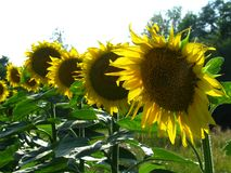 Seven sunflowers grow in a row stock images