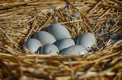 Seven swan eggs in the nest Royalty Free Stock Image