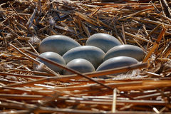Seven swan eggs in the nest Stock Images