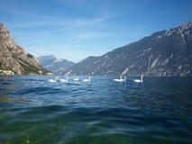 Seven swans Stock Photo