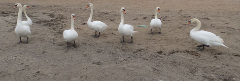 Seven swans Royalty Free Stock Photos